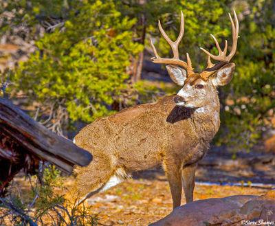 buck deer, mule, grand canyon, arizona