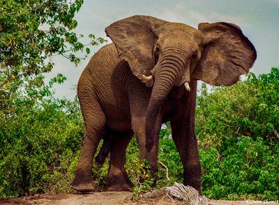 bull elephant, chobe national park, river, botswana