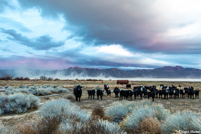 burning man festival, black rock desert, nevada, cows