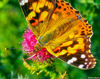 shenandoah, national park, virginia, colorful butterfly