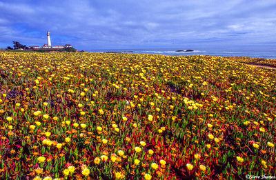 sonoma county, california ice plant