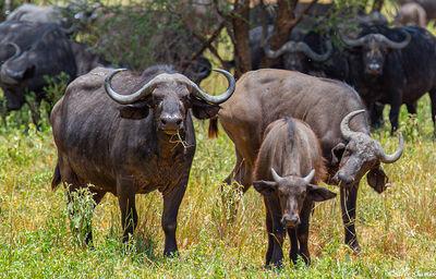 tarangire national park, tanzania, cape buffalo, chewing on a straw