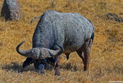 lake nakuru, cape buffalo, kenya