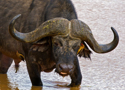 grizzled cape buffalo, oxpecker, aberdare national park, kenya
