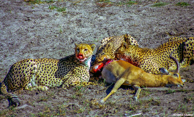 cheetahs eating, moremi game reserve, okavango delta, botswana