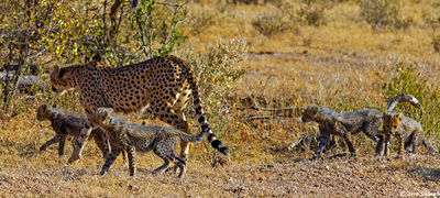 samburu, kenya, mother cheetah, cubs