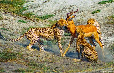 cheetahs catching impala, moremi game reserve, okavango delta, botswana
