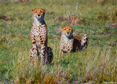 moremi game reserve, botswana, brother cheetahs