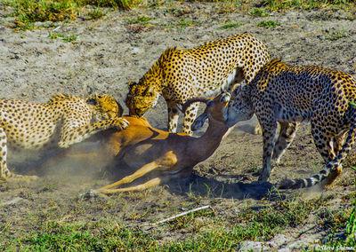 cheetahs killing impala, moremi game reserve, okavango delta, botswana