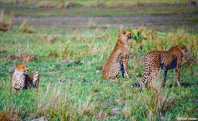 cheetah brothers, moremi game reserve, okavango delta, botswana