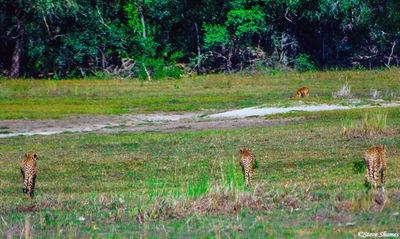 cheetahs stalking, impala, moremi game reserve, okavango delta, botswana