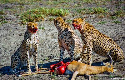 bloody faced cheetahs, moremi, okavango delta, botswana