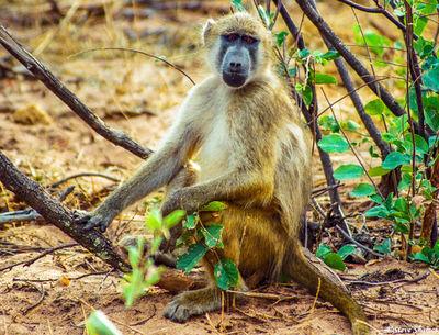 chobe national park, botswana, baboon