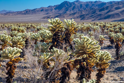 cholla cactus garden, joshua tree national park, southern california