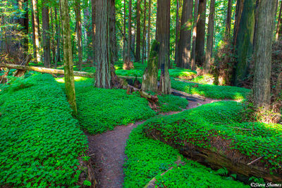 redwood national park, clover, forest, northern california