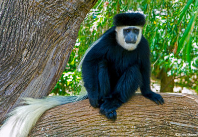 trout tree restaurant, kenya, colobus monkey