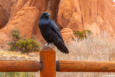 arches national park, utah, crow