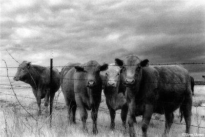 rural sacramento county, california, curious cows