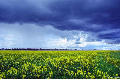 sacramento valley, california, dark sky, wild mustard, fields