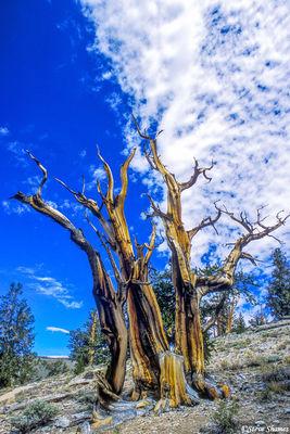 ancient, bristlecone pine forest, california, dead tree
