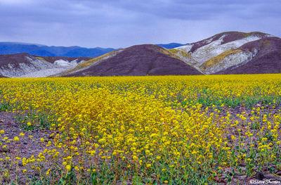 death valley national park, flower bloom