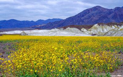 death valley, national park, flower bloom