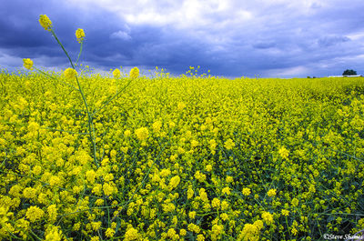 wild mustard, plants, sacramento valley, california