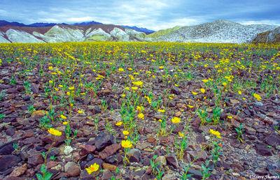 death valley national park, flower bloom, rocky field, desert gold