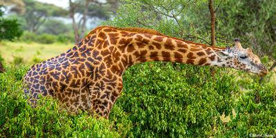 giraffe eating, tarangire, national park, tanzania