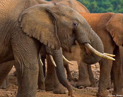 elephants eating dirt, aberdare national park, kenya, the ark