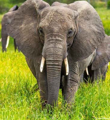 elephant flapping ears, tarangire, national park, tanzania