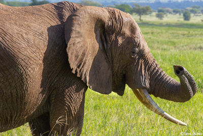 tarangire, national park, tanzania, elephant smelling