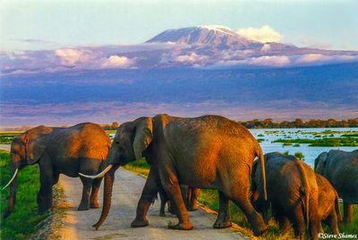 amboseli national park, kenya mt. kilimanjaro, elephants crossing road