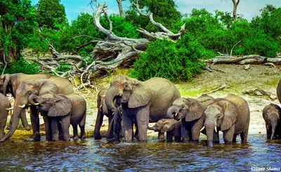 chobe national park, botswana, elephants drinking