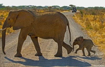 samburu, national park, kenya, elephants crossing road, mother, calf