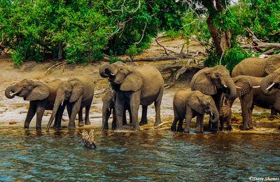 chobe national park, botswana, herds of elephants