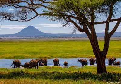 elephants in water, tarangire, national park, tanzania