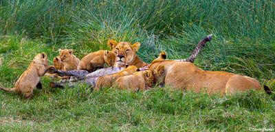 serengeti, national park, tanzania, lions meal