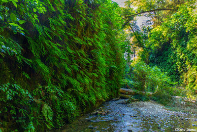 Fern Canyon California