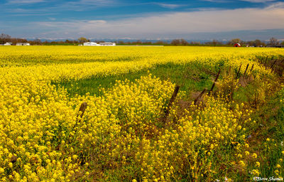 sacramento valley, wild mustard