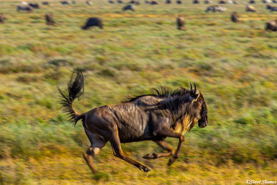 wildebeest galloping, serengeti, tanzania, goof off