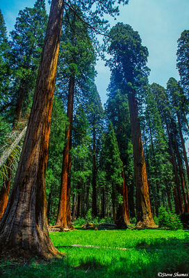 sequoia national park, grove of trees