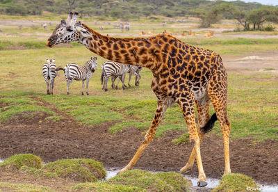 giraffe drinking, serengeti, tanzania