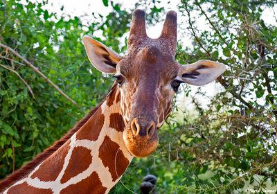 samburu, national park, kenya, giraffe
