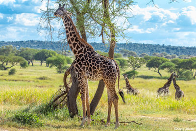 tarangire, national park, tanzania, giraffe