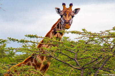 masai mara giraffe, national reserve, kenya