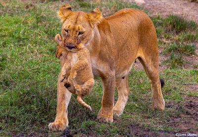 serengeti, national park, tanzania, lion mother