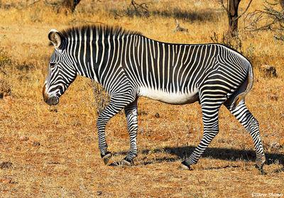 samburu, national park, kenya, grevy's zebra, stripes