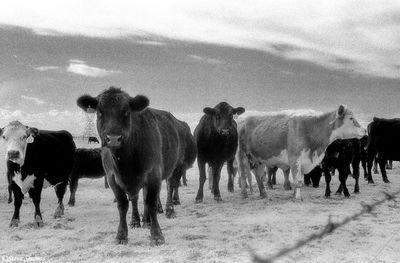 sacramento valley, california, group of cows, infrared film