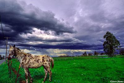 gunmetal grey, spotted horse, sacramento valley, california